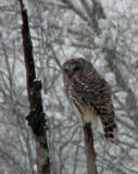 Barred Owl in a Snowstorm-and later...Vermont