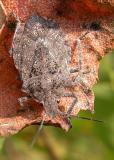 Brochymena sp. -- stink bug