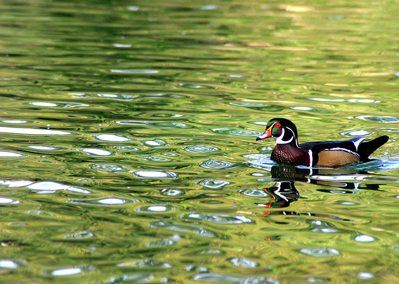 Green Duck*