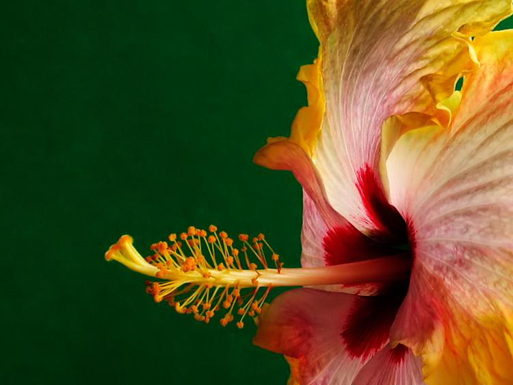 <b>Hibiscus</b> *