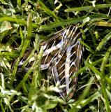 Moth in the grass.jpg