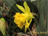 Daffodils ~ Mar, 2004