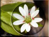 Chickweed ~ Mar, 2004