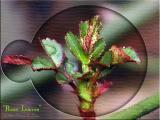 Rose Leaf Budding ~ Mar, 2004