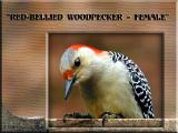 Female Red Bellied Woodpecker ~ Mar, 2004