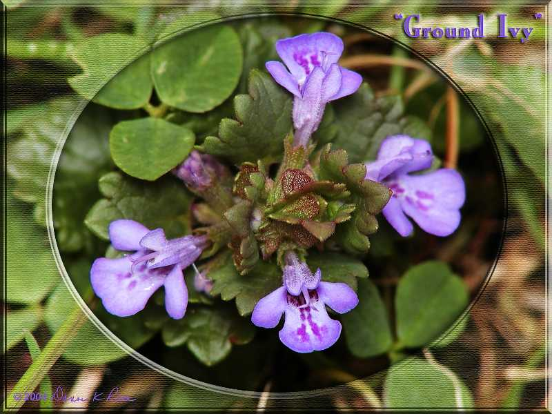 <b>Ground Ivy</b> ~ Mar, 2004
