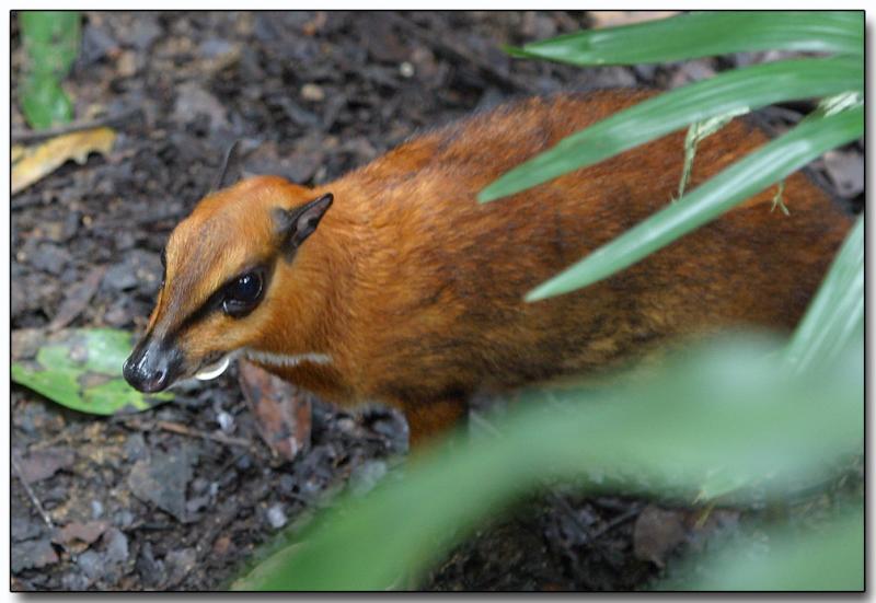 Mousedeer - male