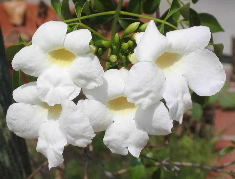 White  Flowers on Vine.jpg