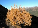 Larch Tree and Pasayten