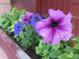 Purple Flower in Flower Box