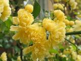 Filoli Yellow Flowers