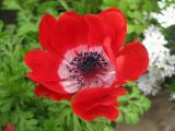 Filoli Red Flower