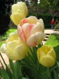 Filoli More Tulips