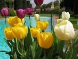 Filoli Tulips By The Pool