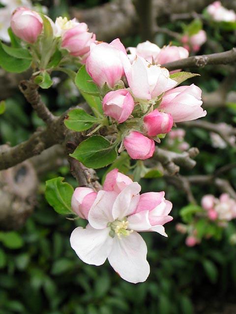 Filoli Apple Flowers