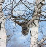 Great Gray Owl dives head first for vole