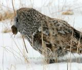 Great Gray Owl and vole catch