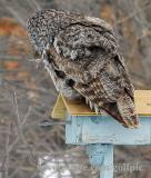Great Gray Owl and vole in beak