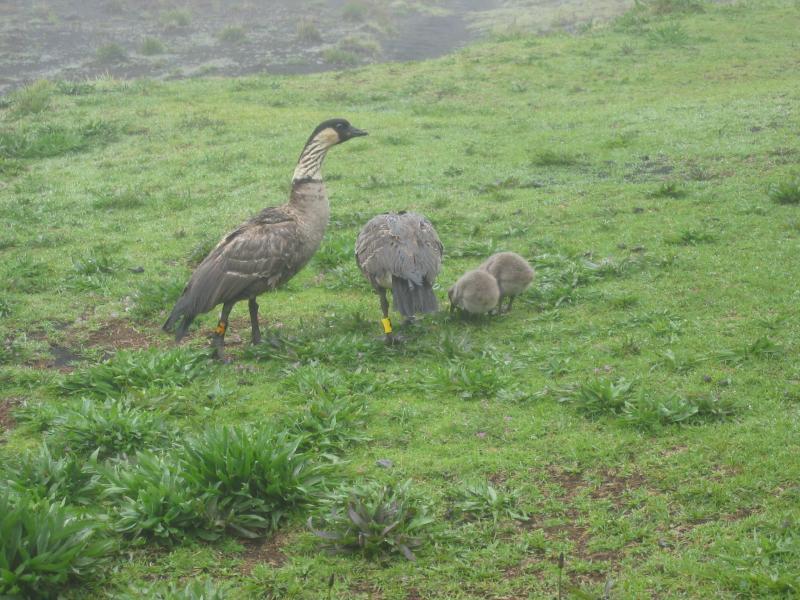Nene with goslings
