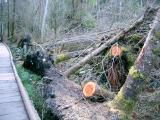 Fallen trees along the boardwalk