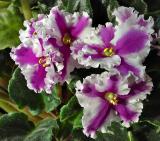 Sparkling violets