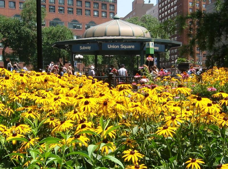 Summer Black-eyed Susans at Union Square