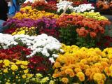 More Chrysanthemums
