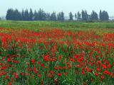 carpet of spring flowers