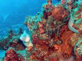 Peppered Moray