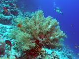 Diver at Reef