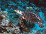 Hawksbill Sea Turtule