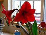 amaryllis in the kitchen.jpg