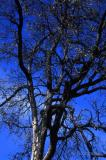 Scorched Oak Tree