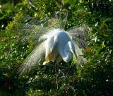 great egret. aigrette display