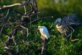 cattle egret. with great blue heron