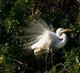 great egret. breeding display
