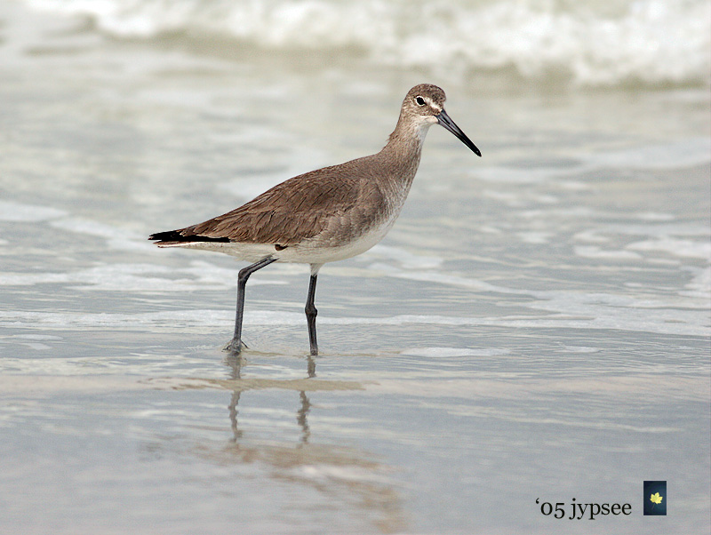 winter willet