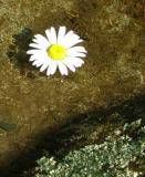 Floating Daisy