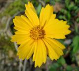 Coreopsis, Lanceleaf