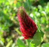 Clover, Crimson