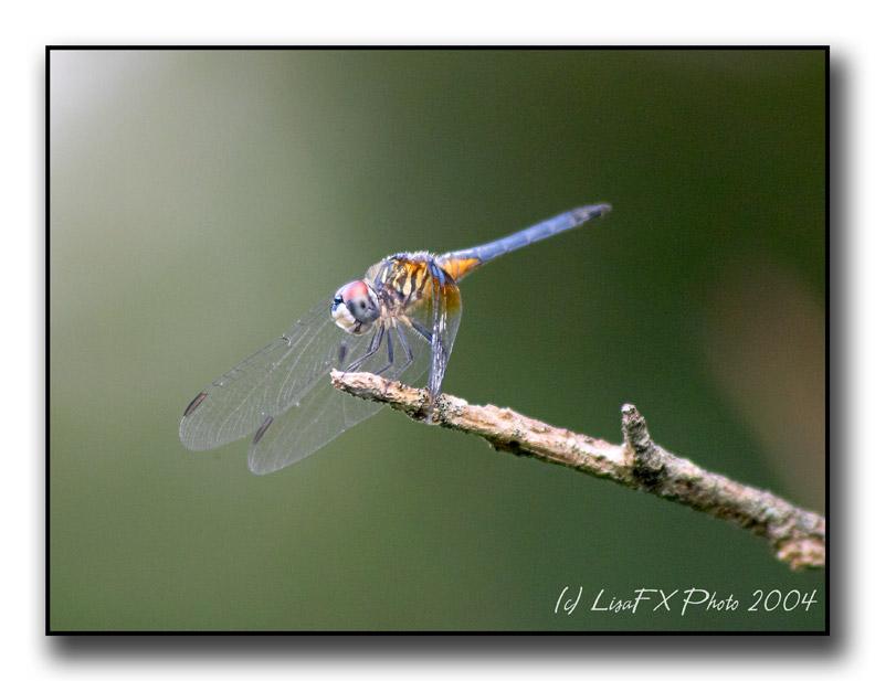Gossamer Wings.jpg