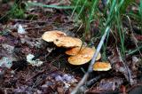 Mushrooms (Suillus Granulatus shown here)