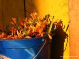 flores amarillo, antigua guatemala