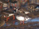 Snow Goose x Greater White-fronted Goose