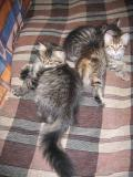 Here still in Moscow  with some Sibaris kittens. Tassya is in the front.  Moskovassa Sibaris-pentujen kanssa.