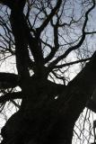 Montmartre Tree
