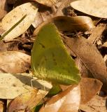 Cloudless Sulphur - female