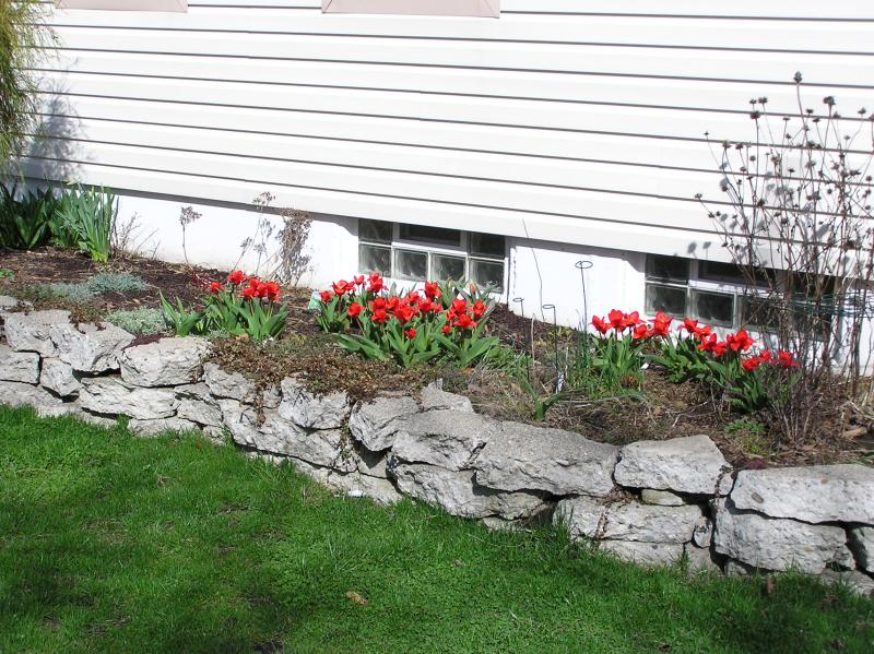 Tulips on South side of house 4-3-04
