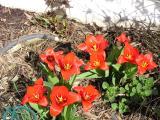 Tulips closer 4-3-04