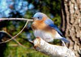 Bluebird - 12-26-04 -